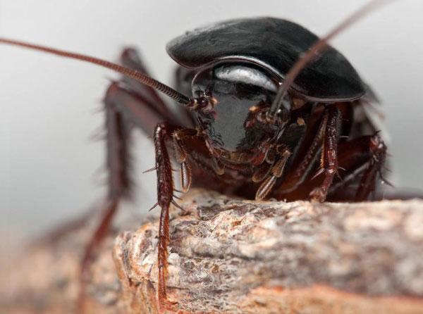 агрессивно настроенные тараканы